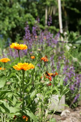 companion planting brings beneficial insects into your garden