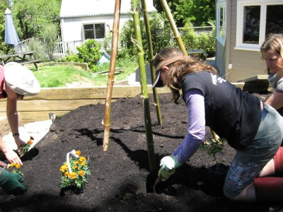 planting the tomatoes and companion flowers togather