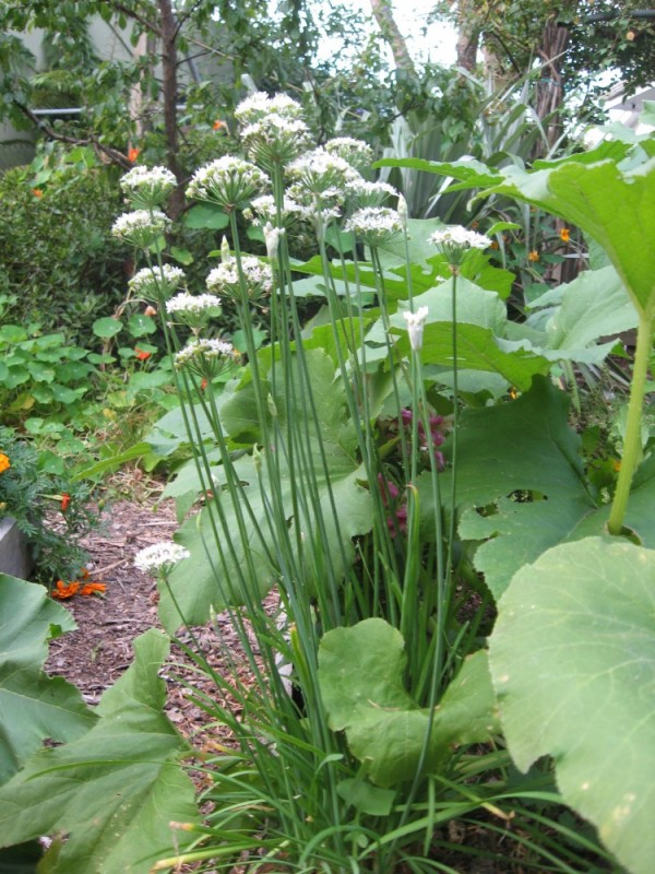 garlic chives and pumpkins intermingle