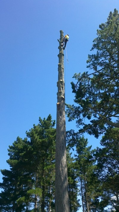 Tim removing a mature pine