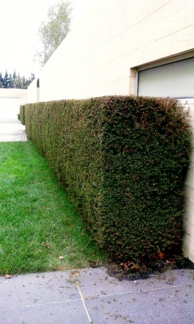 a neatly trimmed totara hedge