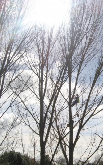 poplars in a Hamilton gully get thinned